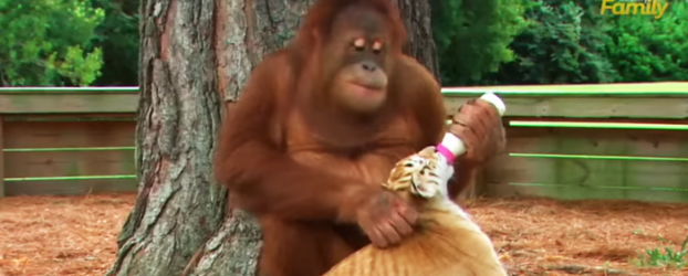 In Less Than 40 Seconds, This Orangutan And The Tiger Cubs Can Teach Us To Be Better Humans Today!